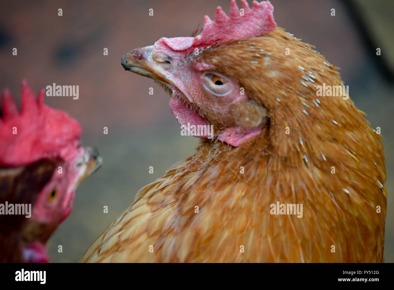 chicken turning around to look at another chicken - Stock Image