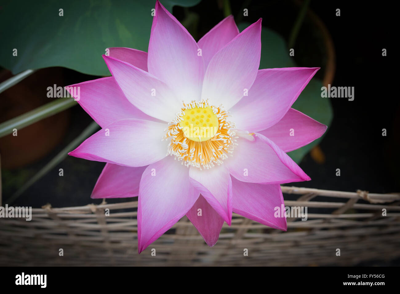 Water Lotus Flower Morning Stock Photos Water Lotus Flower Morning