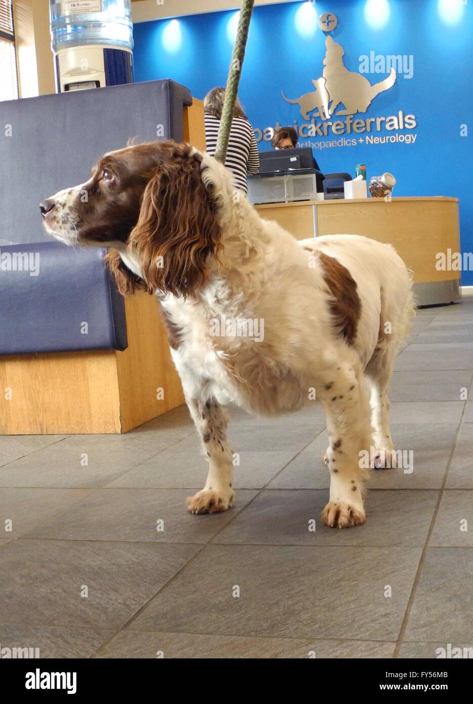 Dog at the Vets. 'Meg' at Fitzpatrick Referrals. Not happy !   Springer spaniel 'Meg' on visit to - Stock Image