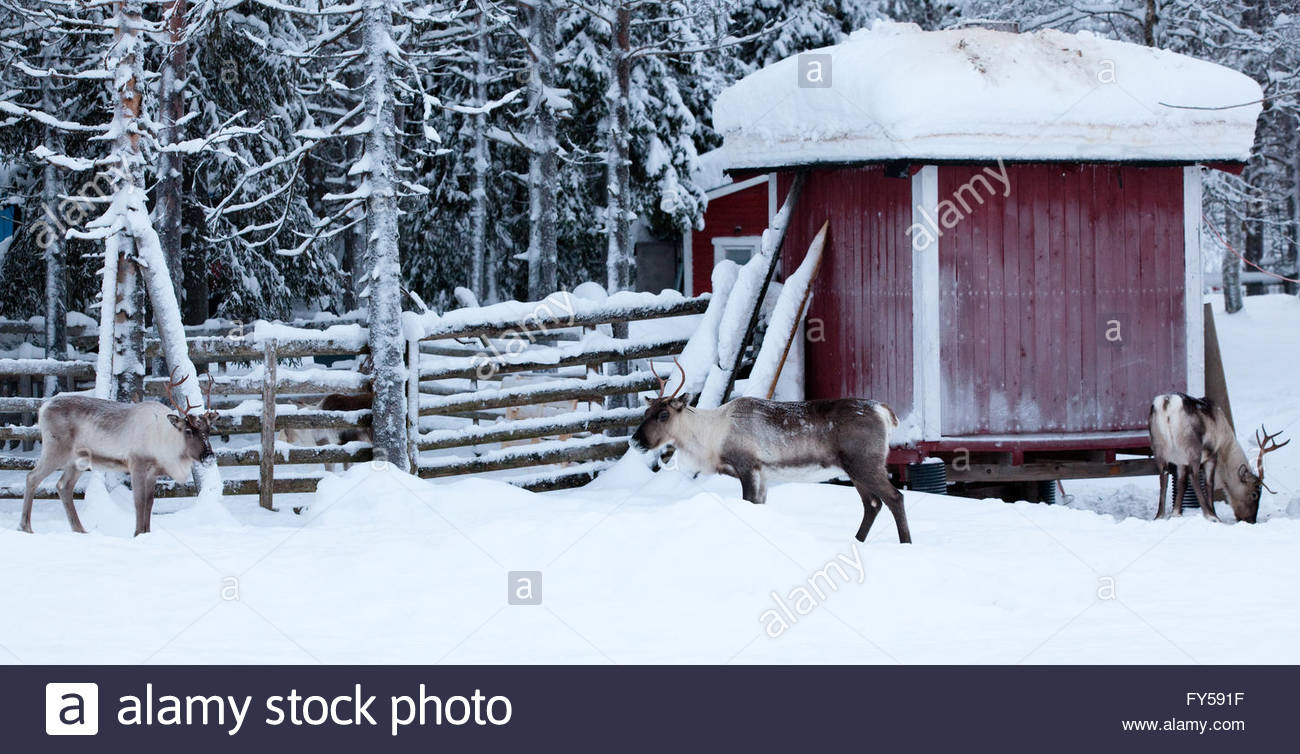 Three reindeers outside fences - Stock Image