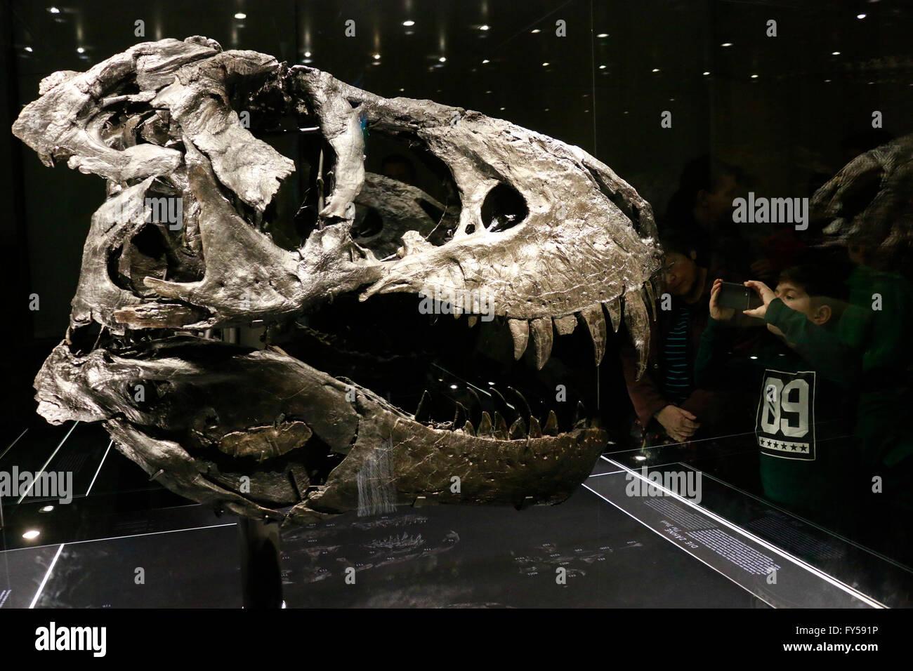 der Kopf des Tyrannus Saurus Rex 'Tristan Otto', Naturhistorisches Museum, Berlin. - Stock Image