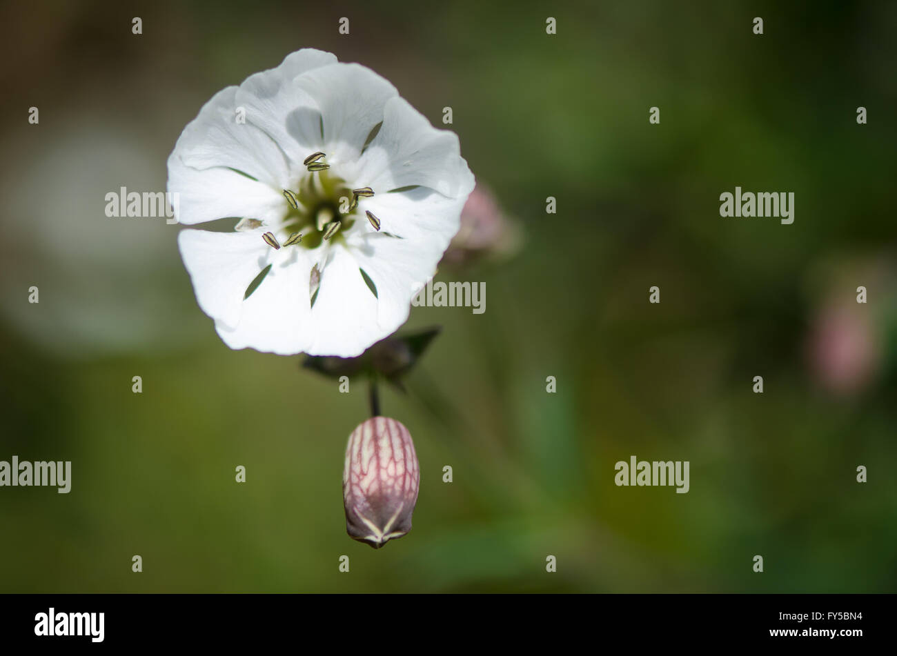 Sea campion (Silene vulgaris) flower and calyx tube, on plant in family Caryophyllaceae, common on European coasts Stock Photo