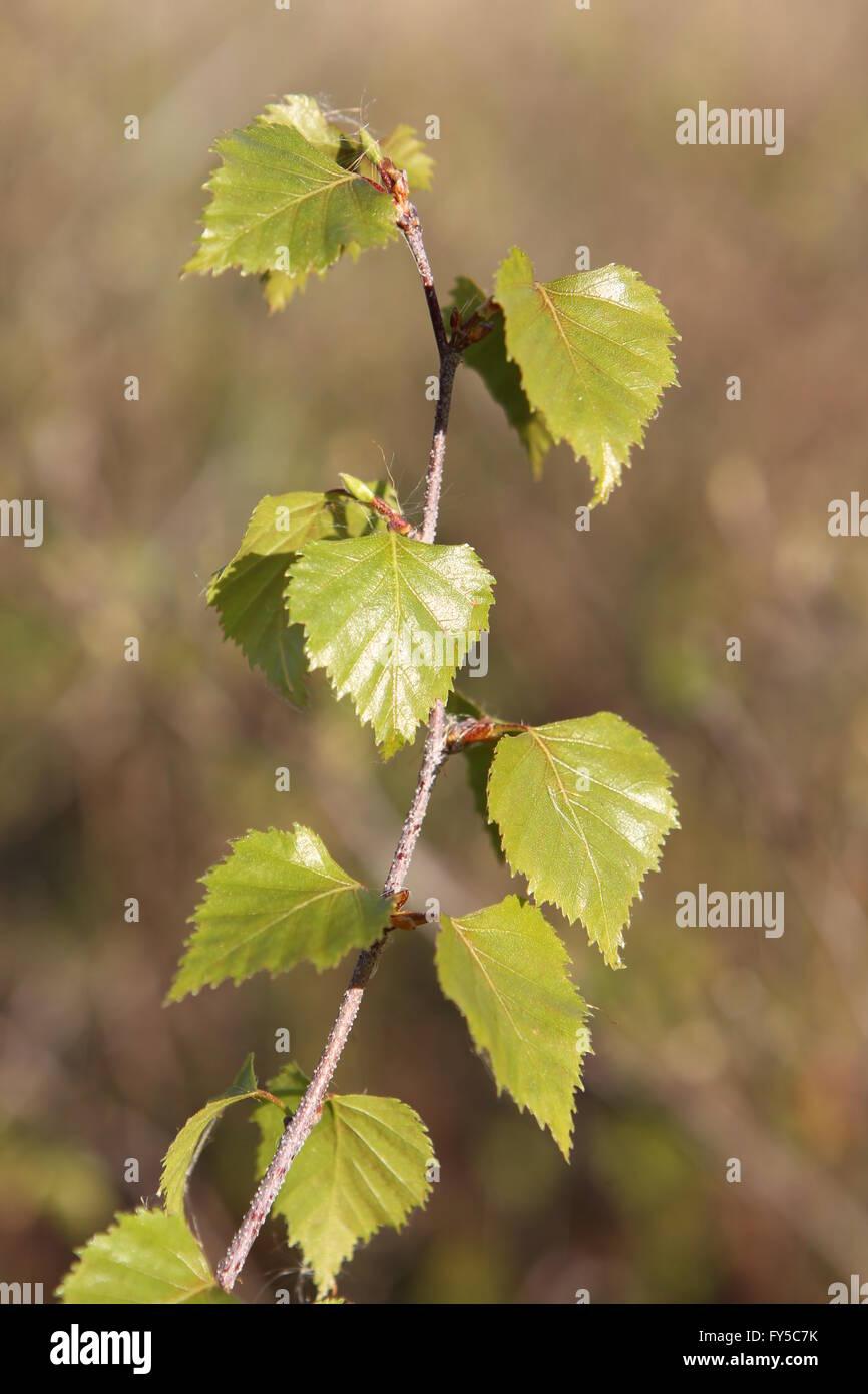 Fresh leaves of Silver  Birch Betula pendula - Stock Image