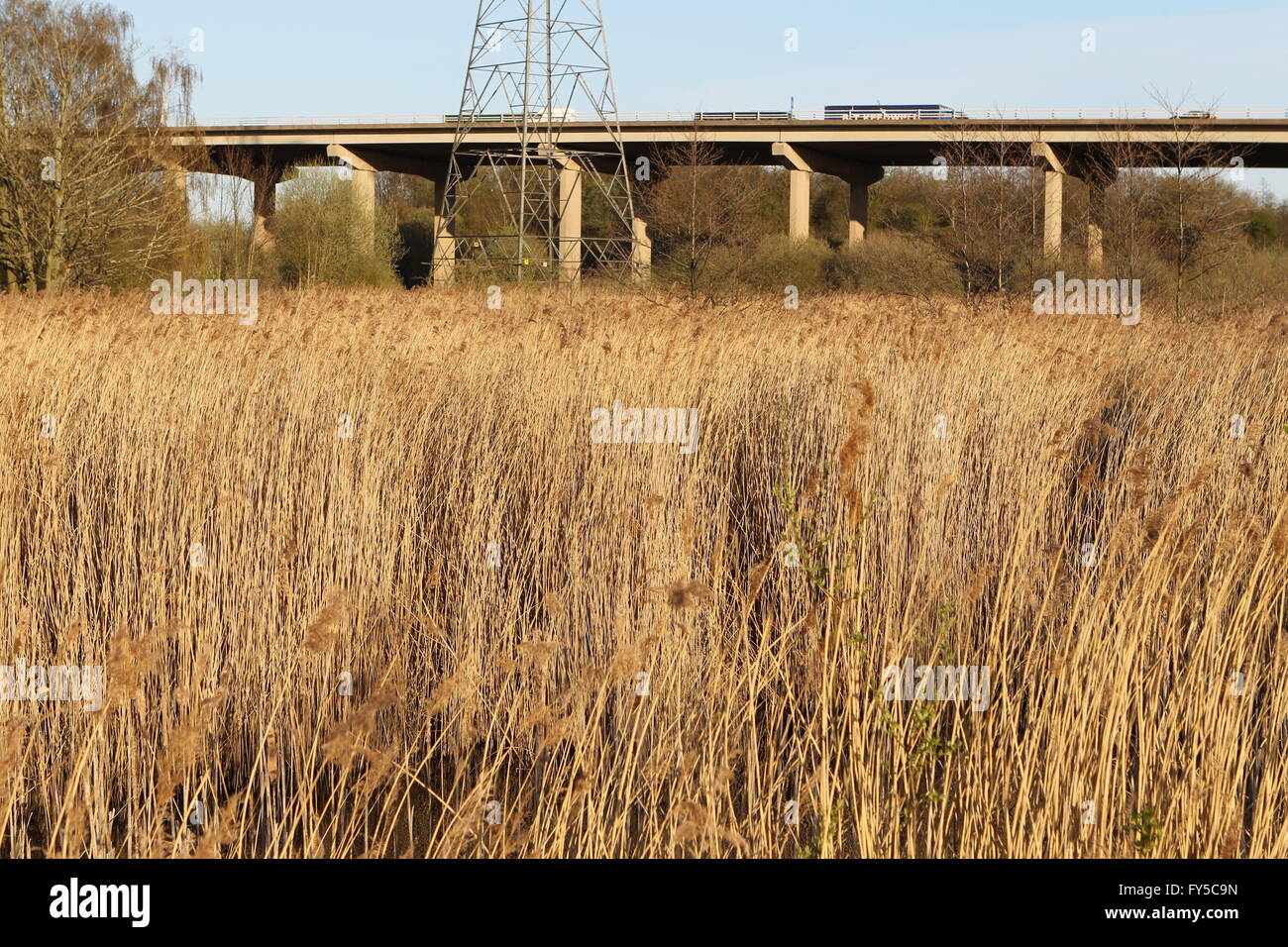 urban reed bed next to flyover - Stock Image