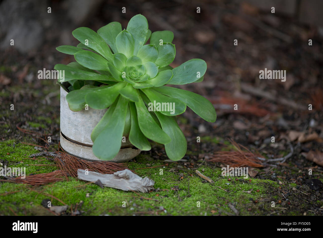 large Aeonium succulent potted plant near beautiful mossy ground cover - Stock Image