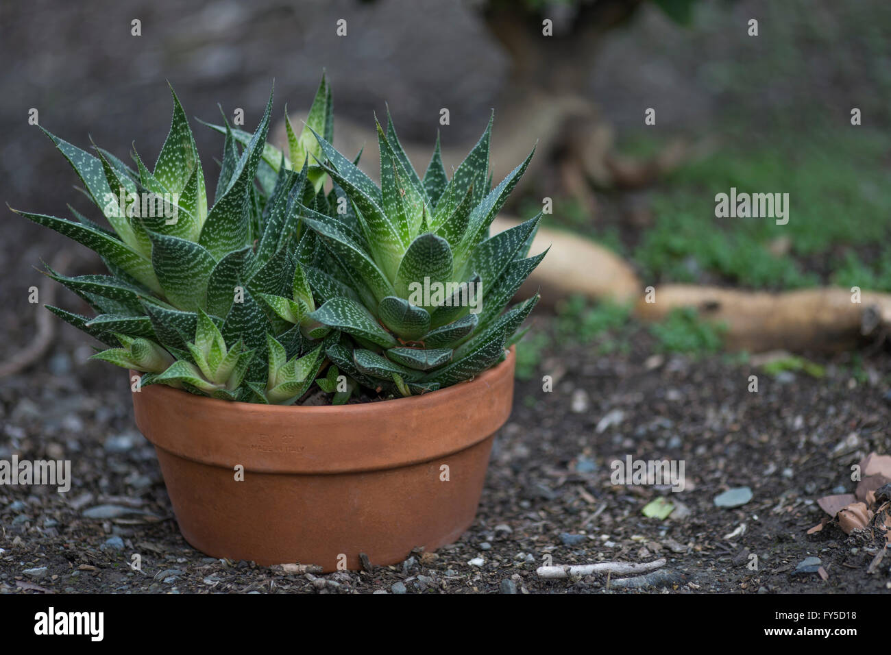 aloe variety, potted succulent plant - Stock Image