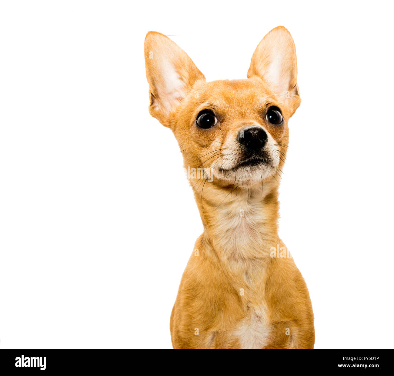 High key shot of an alert chihuahua dog in front of a white backdrop and looking upwards - right side - Stock Image