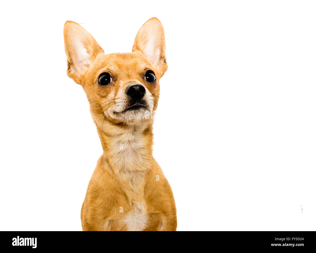 High key shot of an alert chihuahua dog in front of a white backdrop and looking upwards - left side - Stock Image