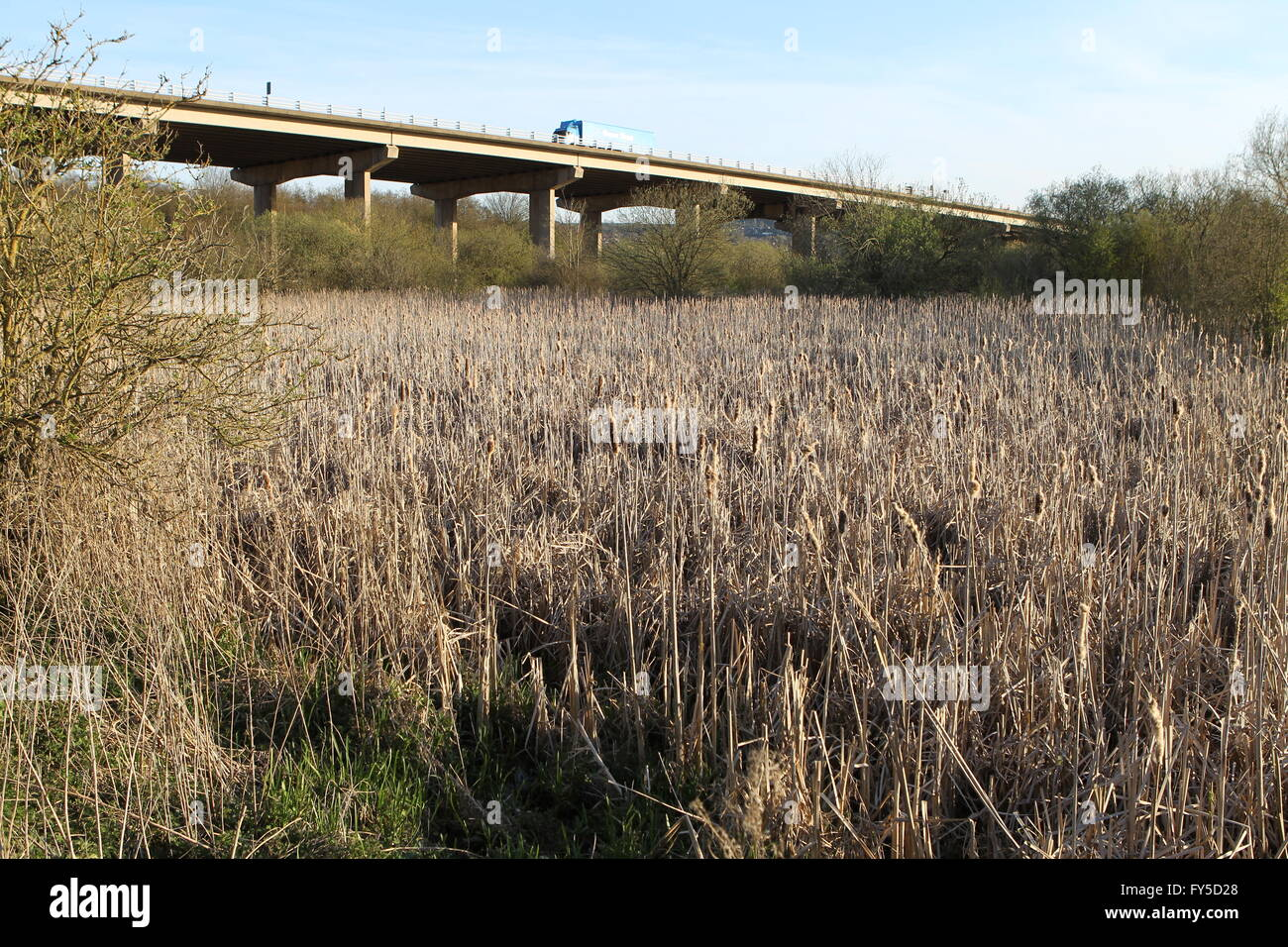 Motorway flyover and reed bed - Stock Image