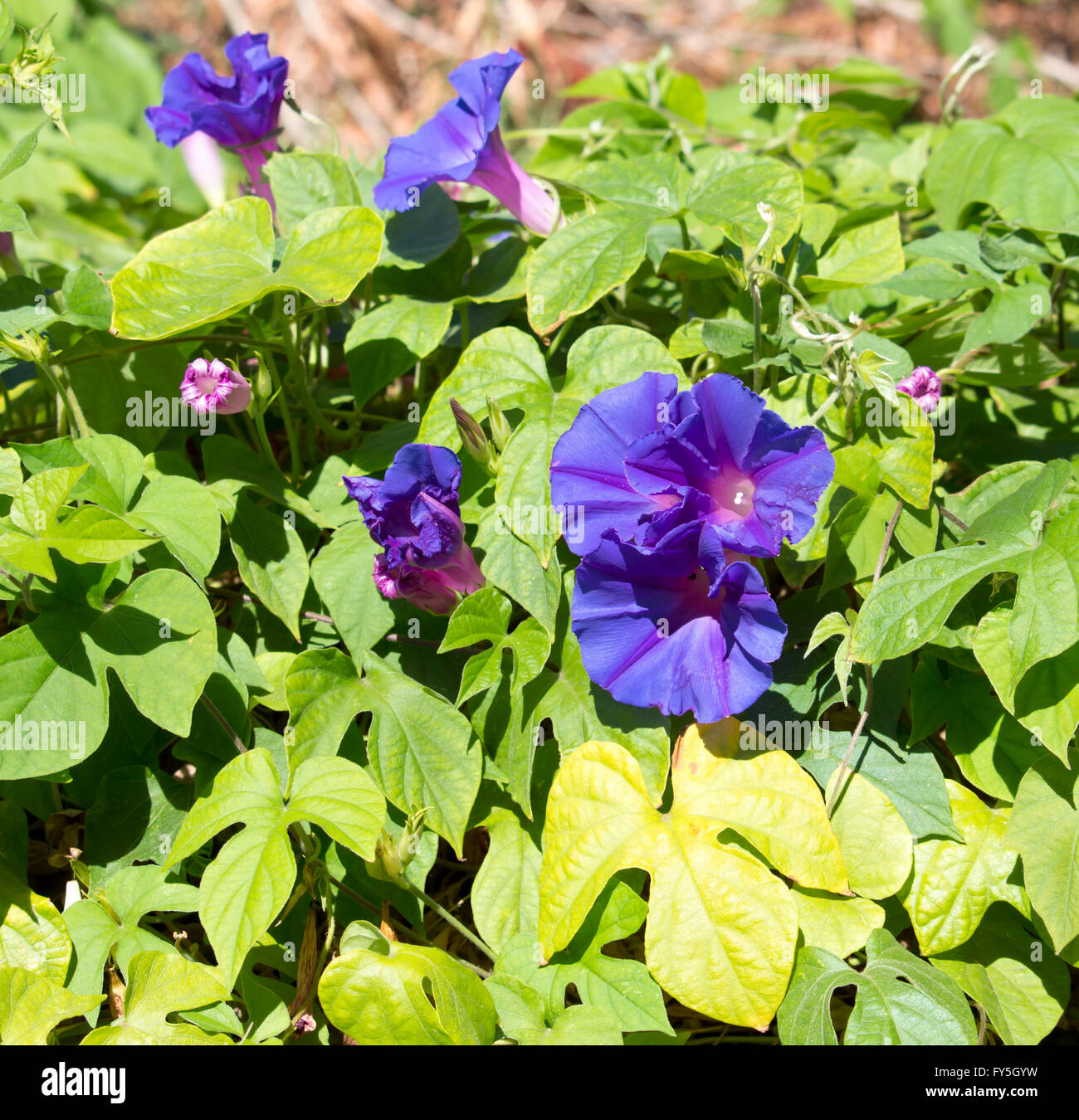 Creeper  Ipomoea purpurea,  Purple, Tall, or Common Morning Glory,  a species in the genus Ipomoea  with purple - Stock Image