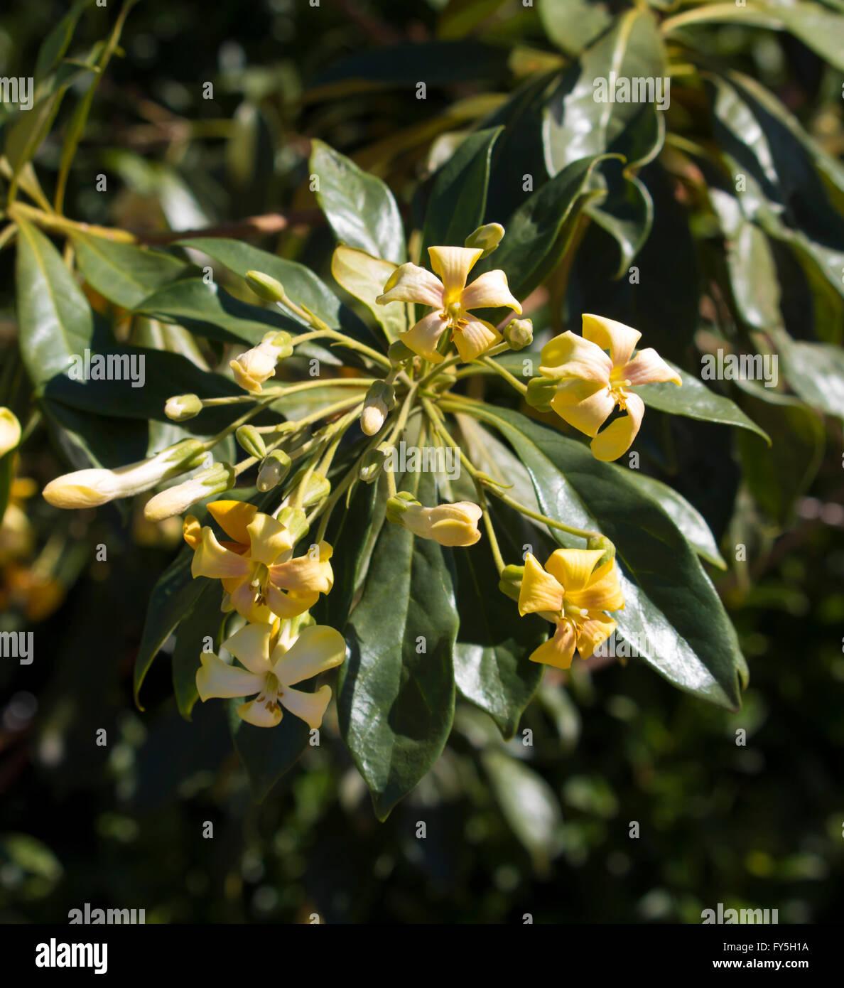 Showy Hymenosporum Flavum Or Native Frangipani A Rainforest Tree