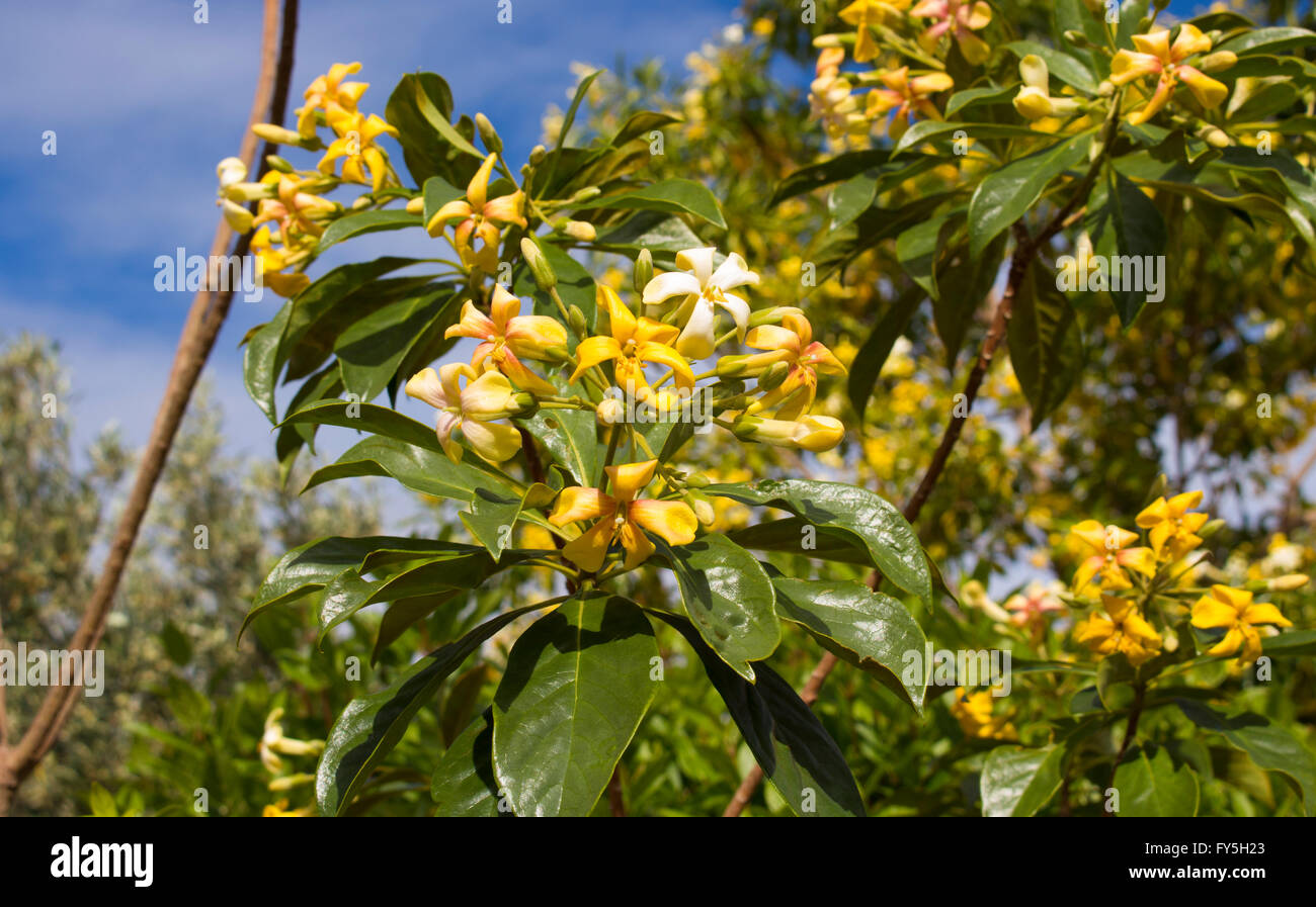 Showy hymenosporum flavum or native frangipani a rainforest tree showy hymenosporum flavum or native frangipani a rainforest tree endemic to australia with fragrant yellow white flowers mightylinksfo