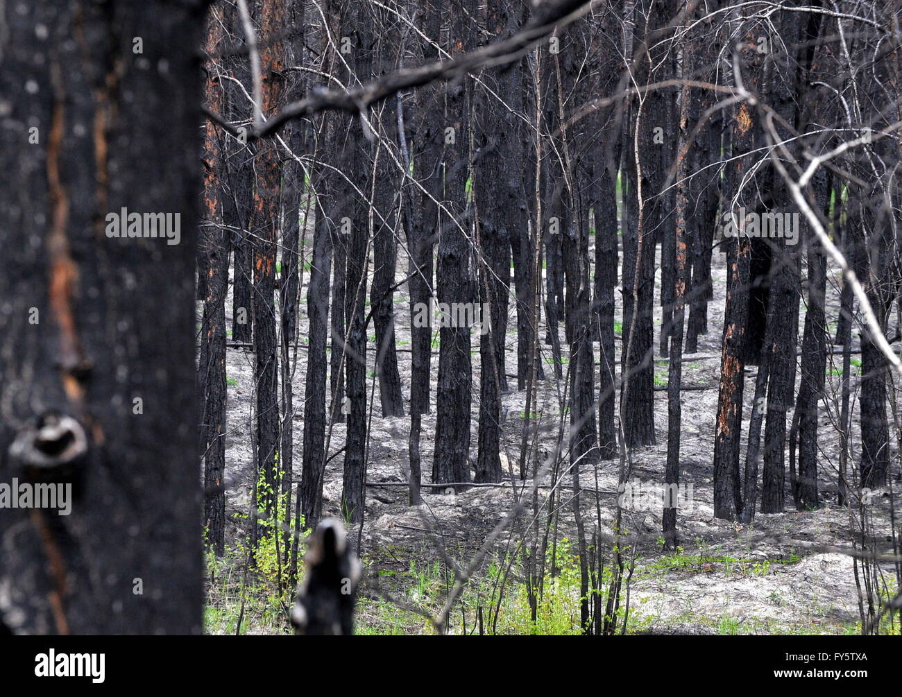 Gomel Region, Belarus. 22nd Apr, 2016. A burnt out forest in the village of Lomachi, Khoiniksky District, located - Stock Image