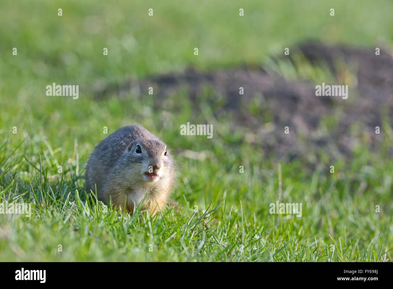 european ground squirrel standing on grass Stock Photo