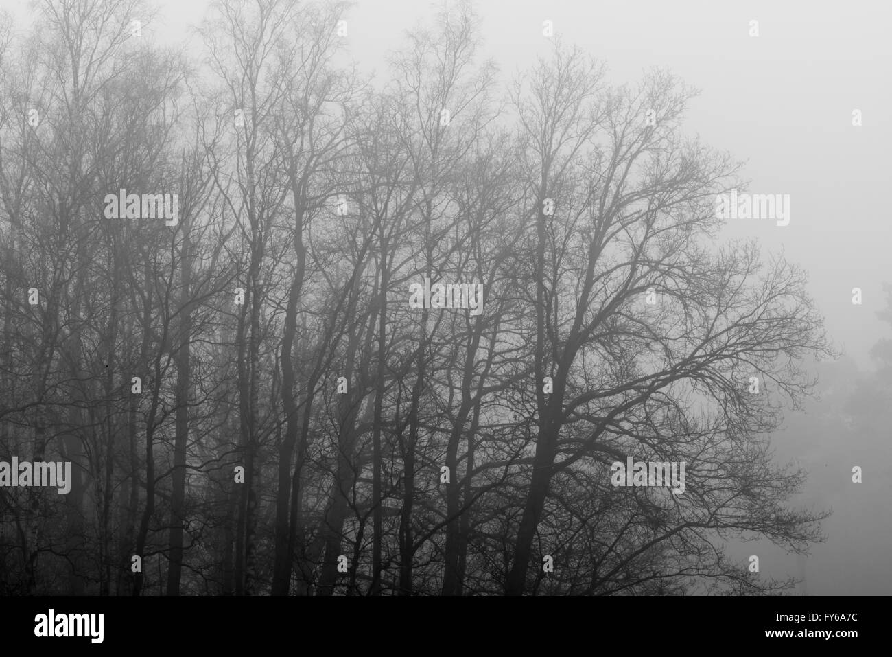 Gray tree outlines in the fog as background picture - Stock Image
