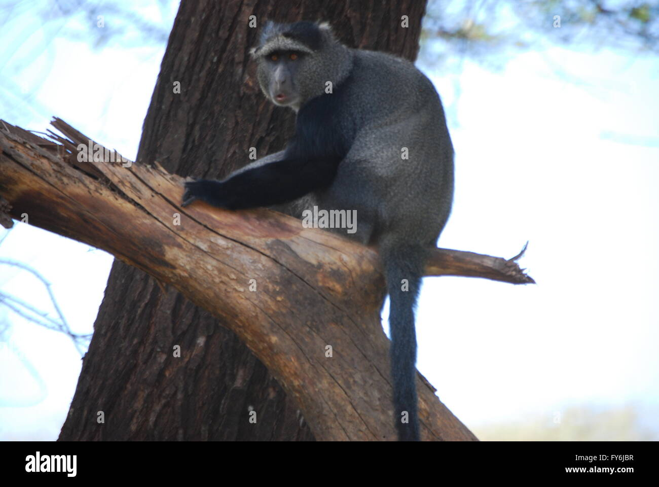 Blue Monkey at Lake Manyara National Park. - Stock Image