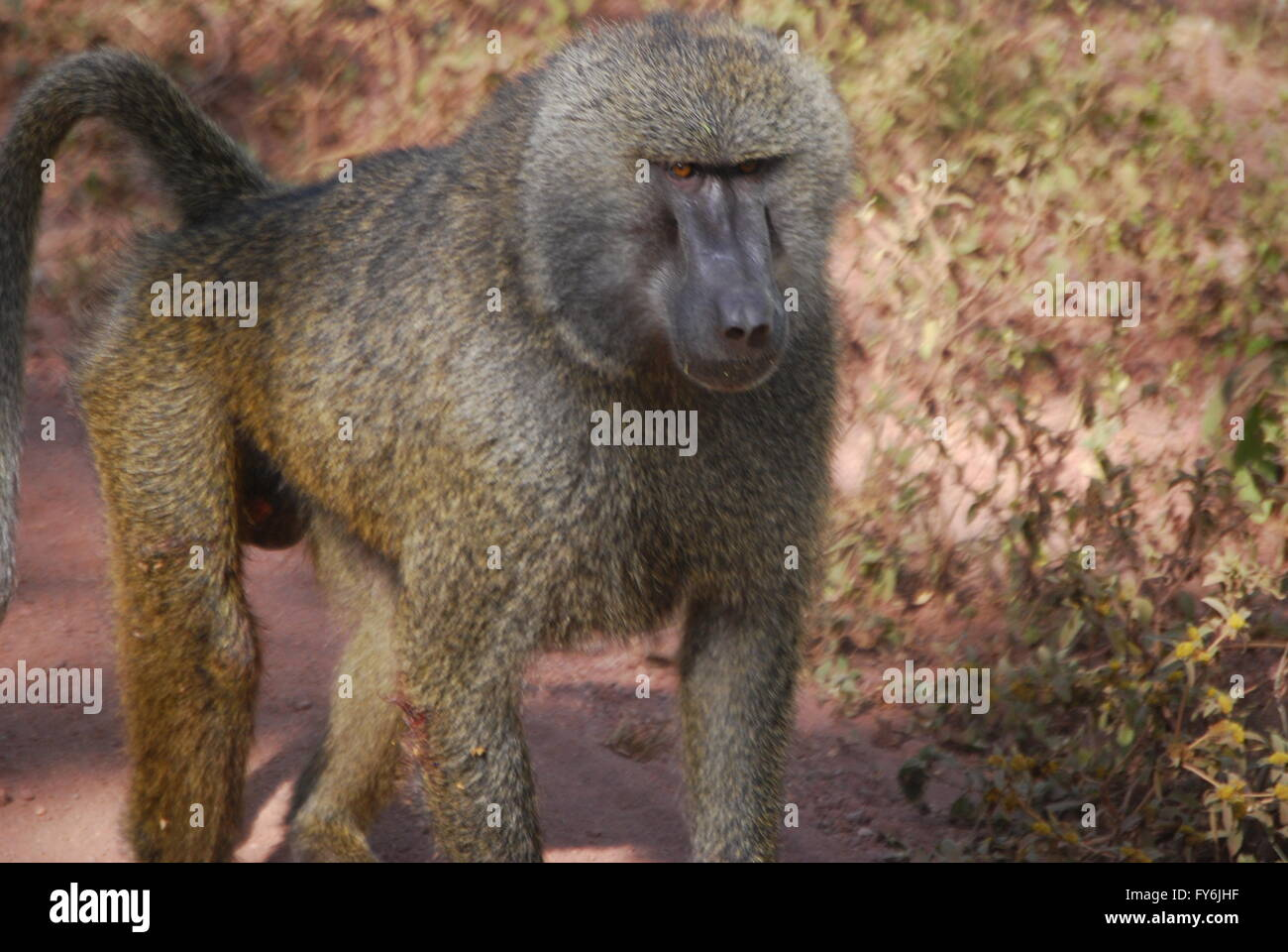 Distant relatives. Olive Baboon in Lake Manyara National Park. Stock Photo