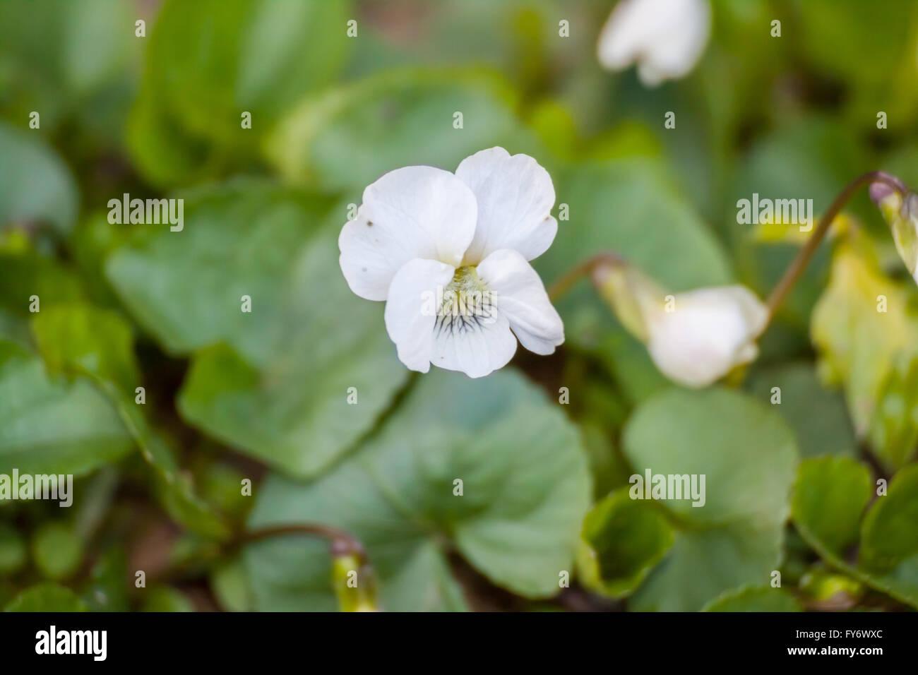 White violet (Viola alba) - Stock Image