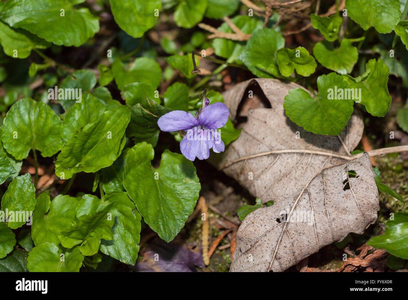 Early dog-violet (Viola reichenbachiana) - Stock Image
