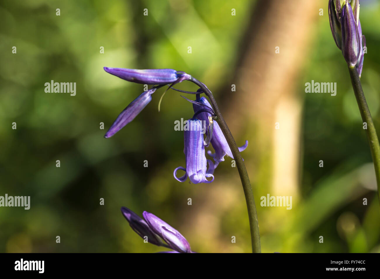 Vibrant bluebell flower in a woodland glade - Stock Image