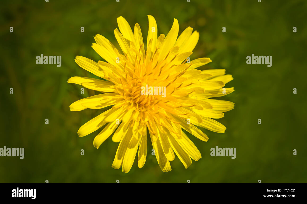 Vibrant yellow dandelion flower on a soft green background - Stock Image