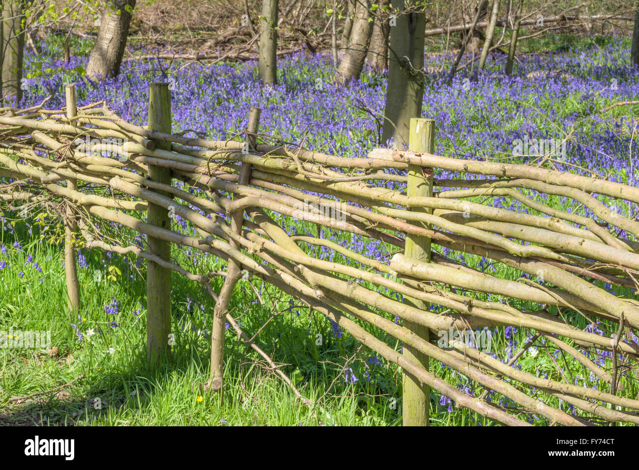 Wicker fence marking boundary of an ancient bluebell wood - Stock Image