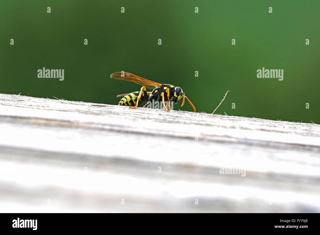 close up of a wasp eating wood from a garden table clearly showing fibres in its mouth polistes gallicus - Stock Image