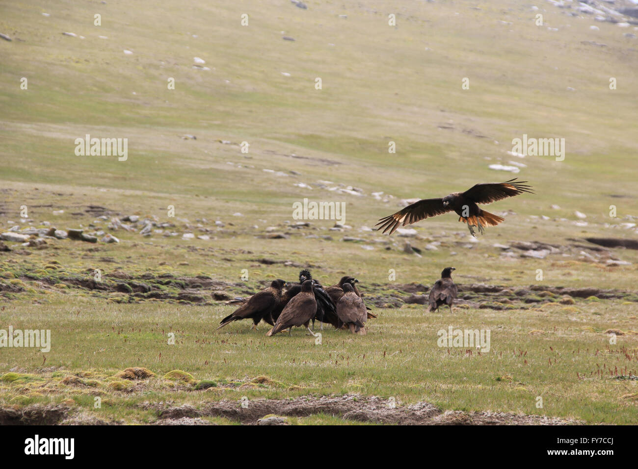Striated caracara at West Point Island, Falkland Islands, South Atlantic Stock Photo