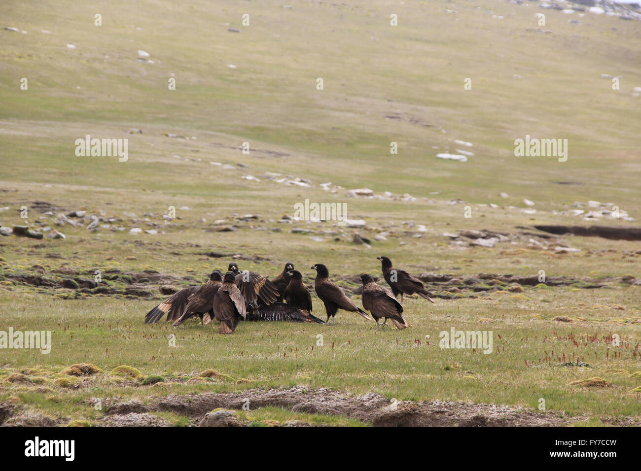 Striated caracara at West Point Island, Falkland Islands, South Atlantic - Stock Image