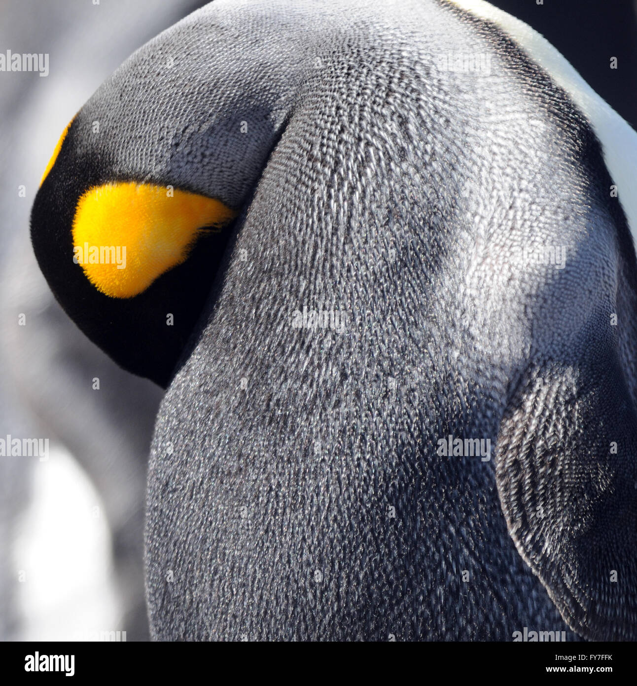 A King penguin (Aptenodytes patagonicus) preens.  Saunders Island, Falkland Islands. - Stock Image