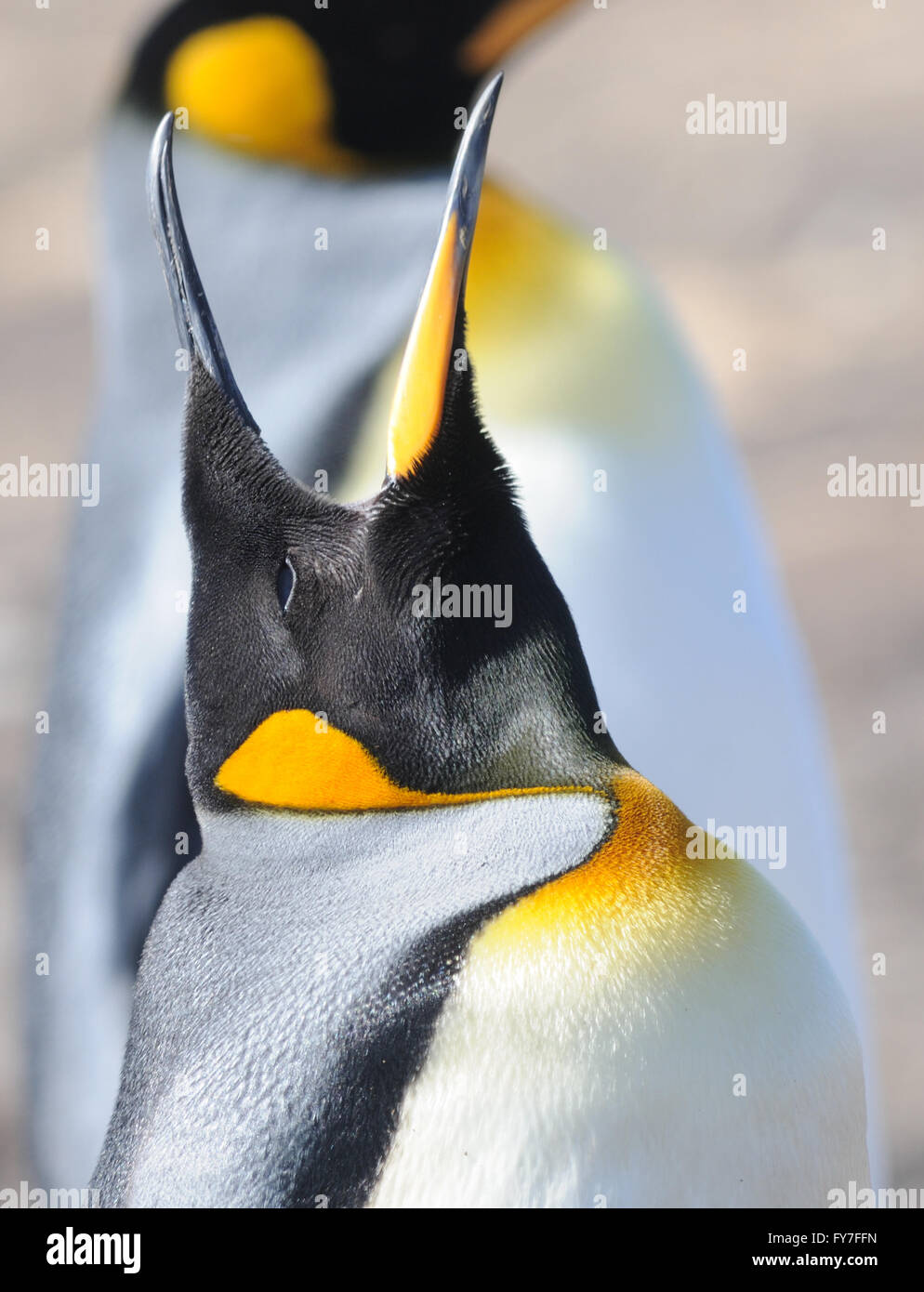 A King penguin (Aptenodytes patagonicus) calls.  Saunders Island, Falkland Islands. - Stock Image