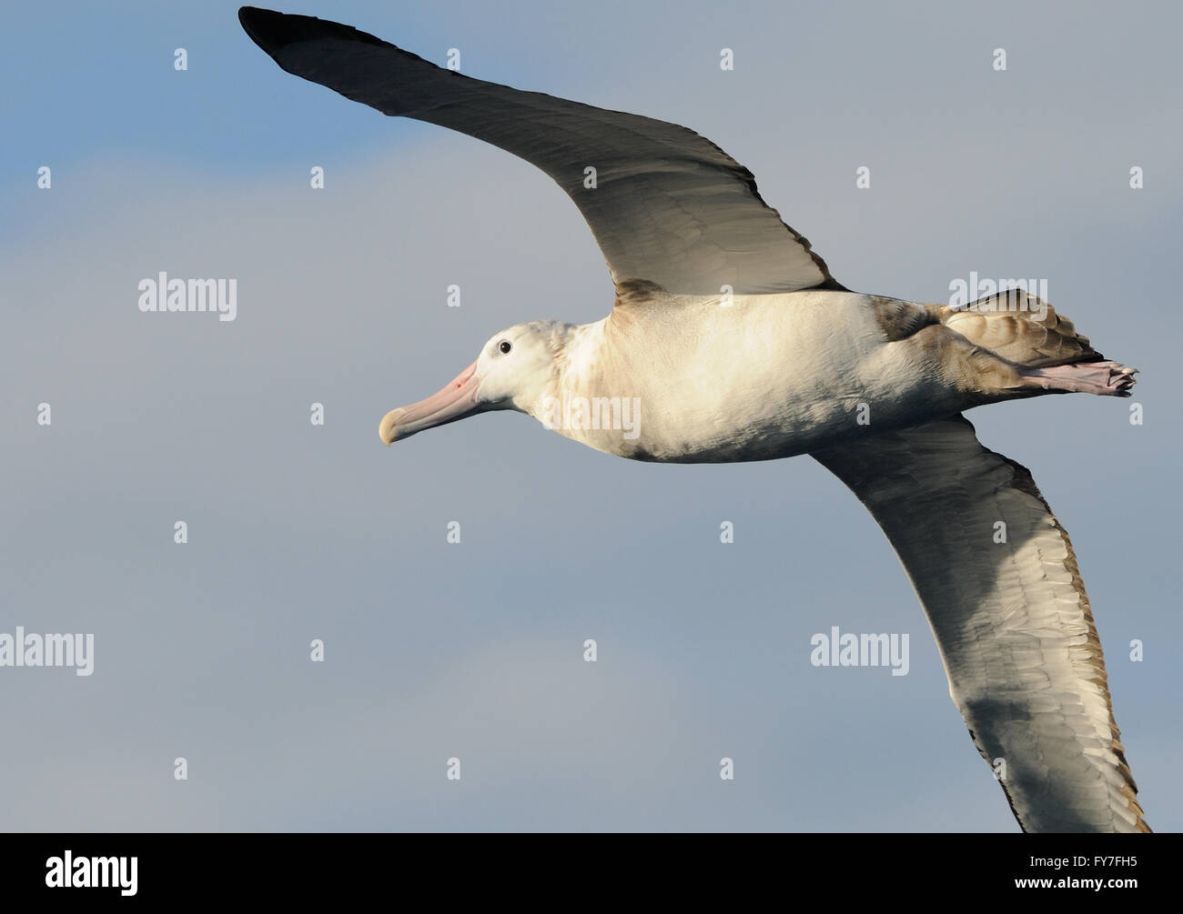 A Wandering Albatross (Diomedea exulans) in flight. Southern Ocean,  South Georgia. - Stock Image