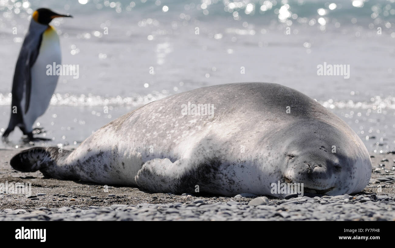A Leopard Seal (Hydrurga leptonyx) and King penguin (Aptenodytes patagonicus) on the beach at Salisbury Plain - Stock Image