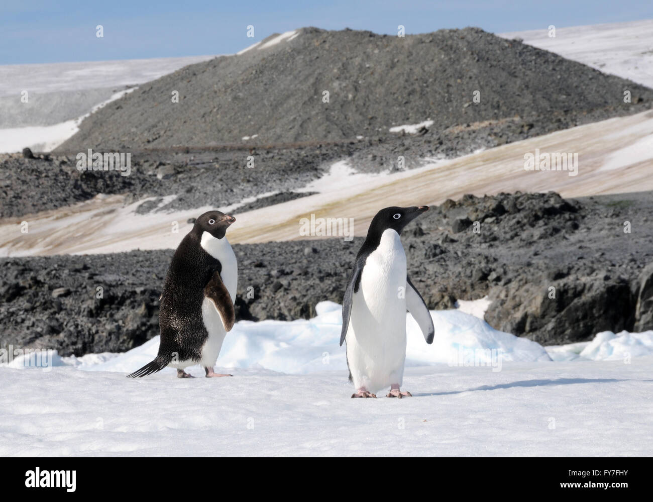 Two Adélie penguins (Pygoscelis adeliae) at their nesting colony in Hope Bay. Hope Bay, Antarctica. - Stock Image