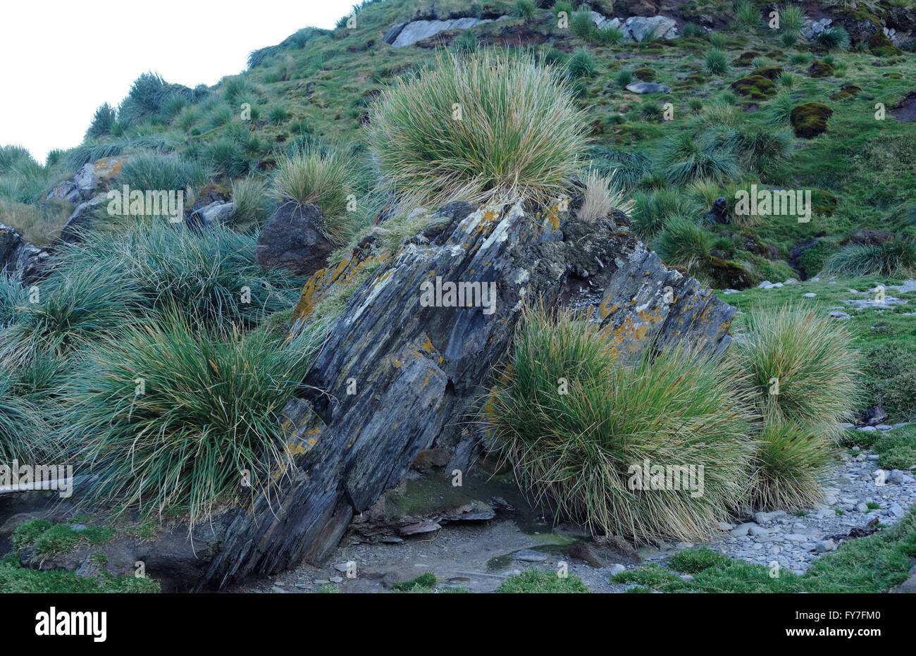 Tussac grass (Poa flabellata) growing on a rocky hillside. Ocean Harbour,  South Georgia. - Stock Image