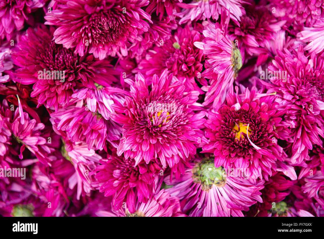 Purple Indian Flowers Stock Photos Purple Indian Flowers Stock