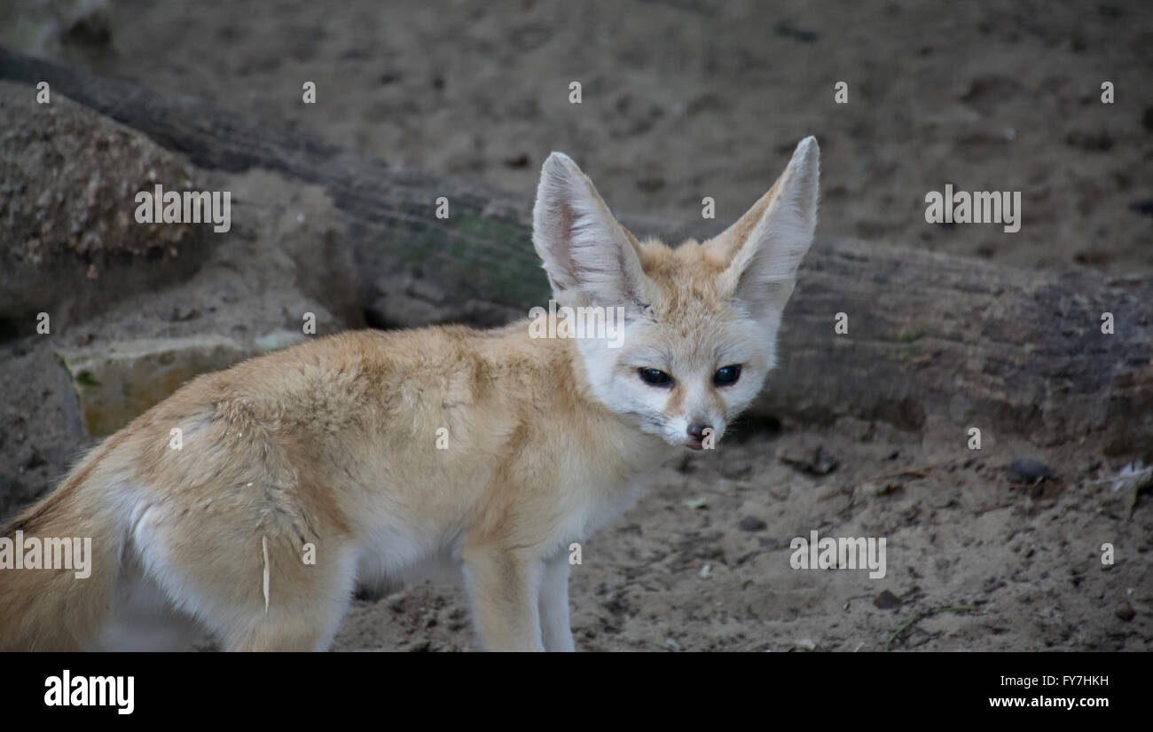 fennec fox cute stock photos fennec fox cute stock images alamy