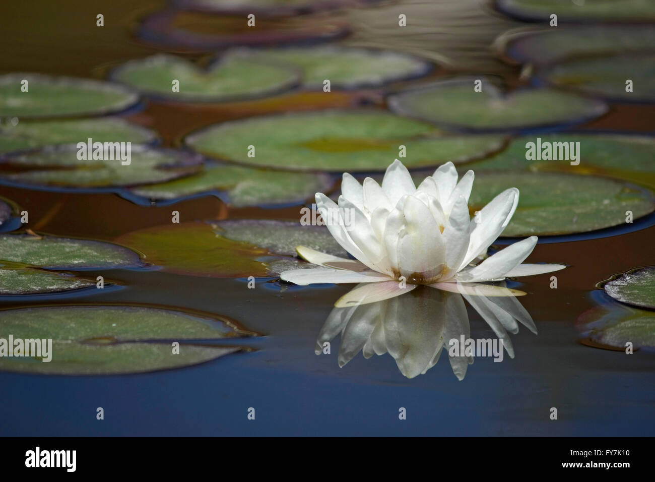 Closeup of a fresh floating white waterlily herb plant, reflected on water surrounded by lilly pads (leaves) & - Stock Image