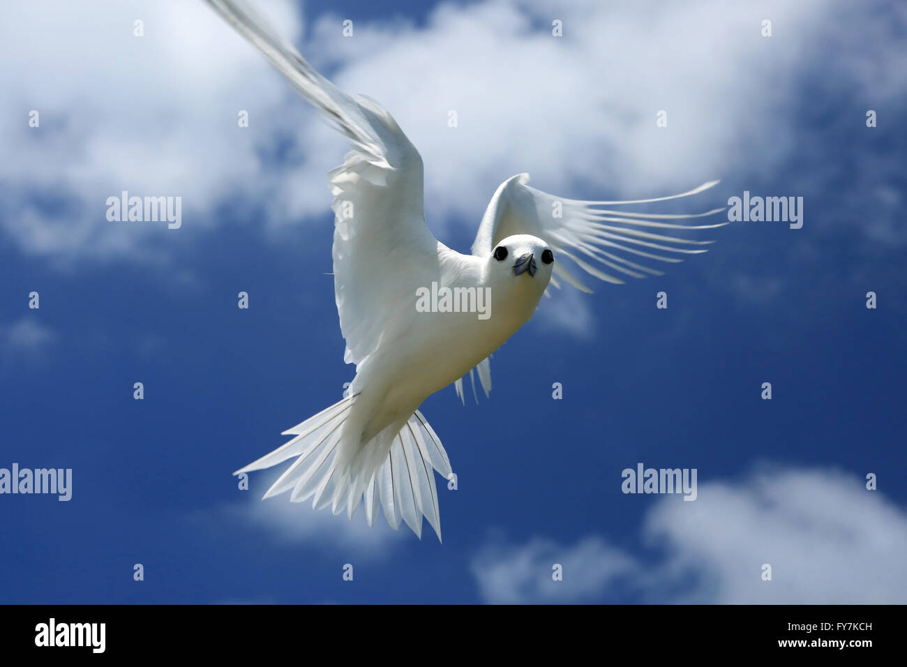 Flying Fairy Tern Bird Stock Photo 102816465 Alamy