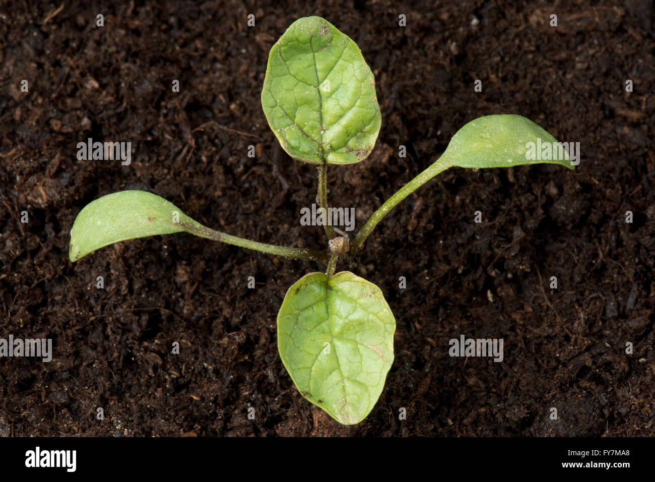 Garlic mustard or jack-by-the-hedge, Alliaria petiolata, seedling weed with cotyledons and first true leaves Stock Photo