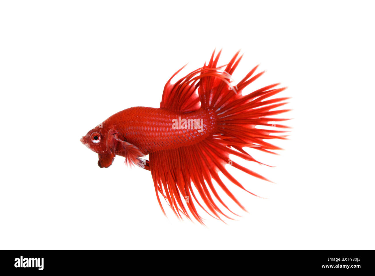 Red Crowntail Betta on white background Stock Photo