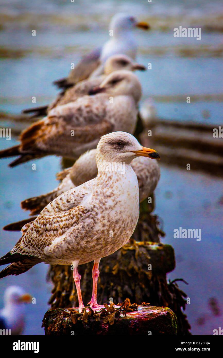 Young Herring Gulls - Stock Image