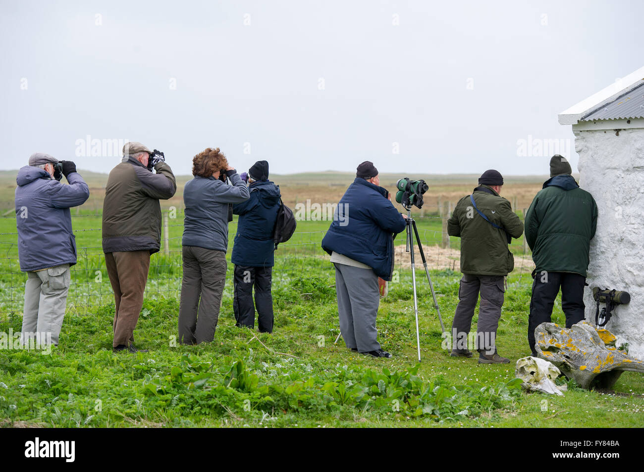 Bird watchers (Twitchers) look for Corncrakes  Corncrake, (Crex Crex ) The Corn Crake, Corncrake or Landrail (Crex - Stock Image