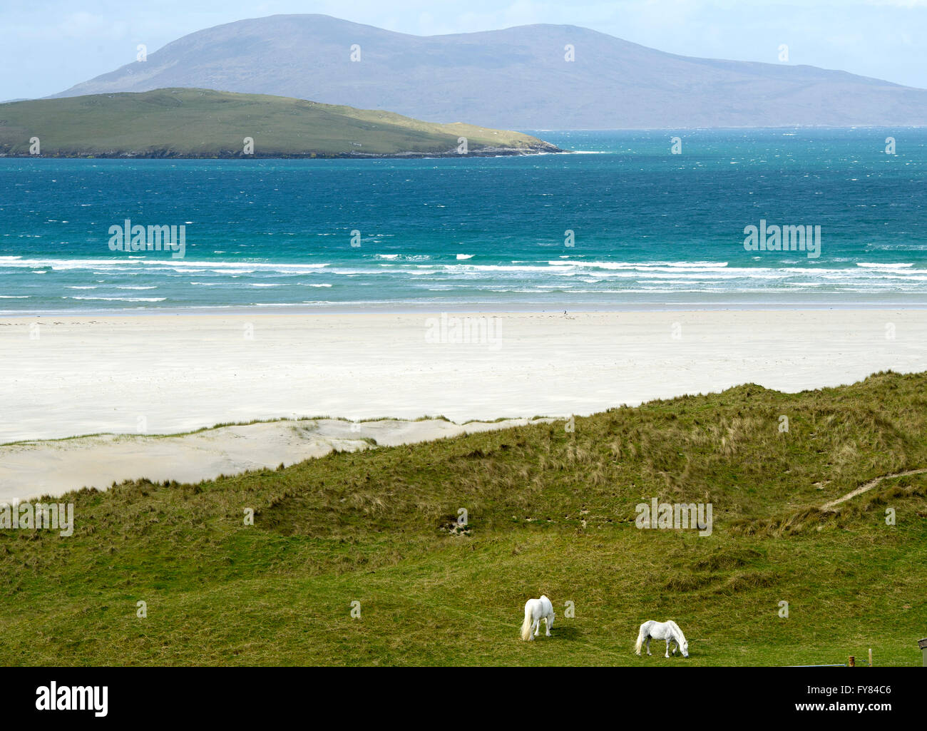 White horses graze on the dunes near Luskentyre beach Isle of Harris Scotland, UK. - Stock Image