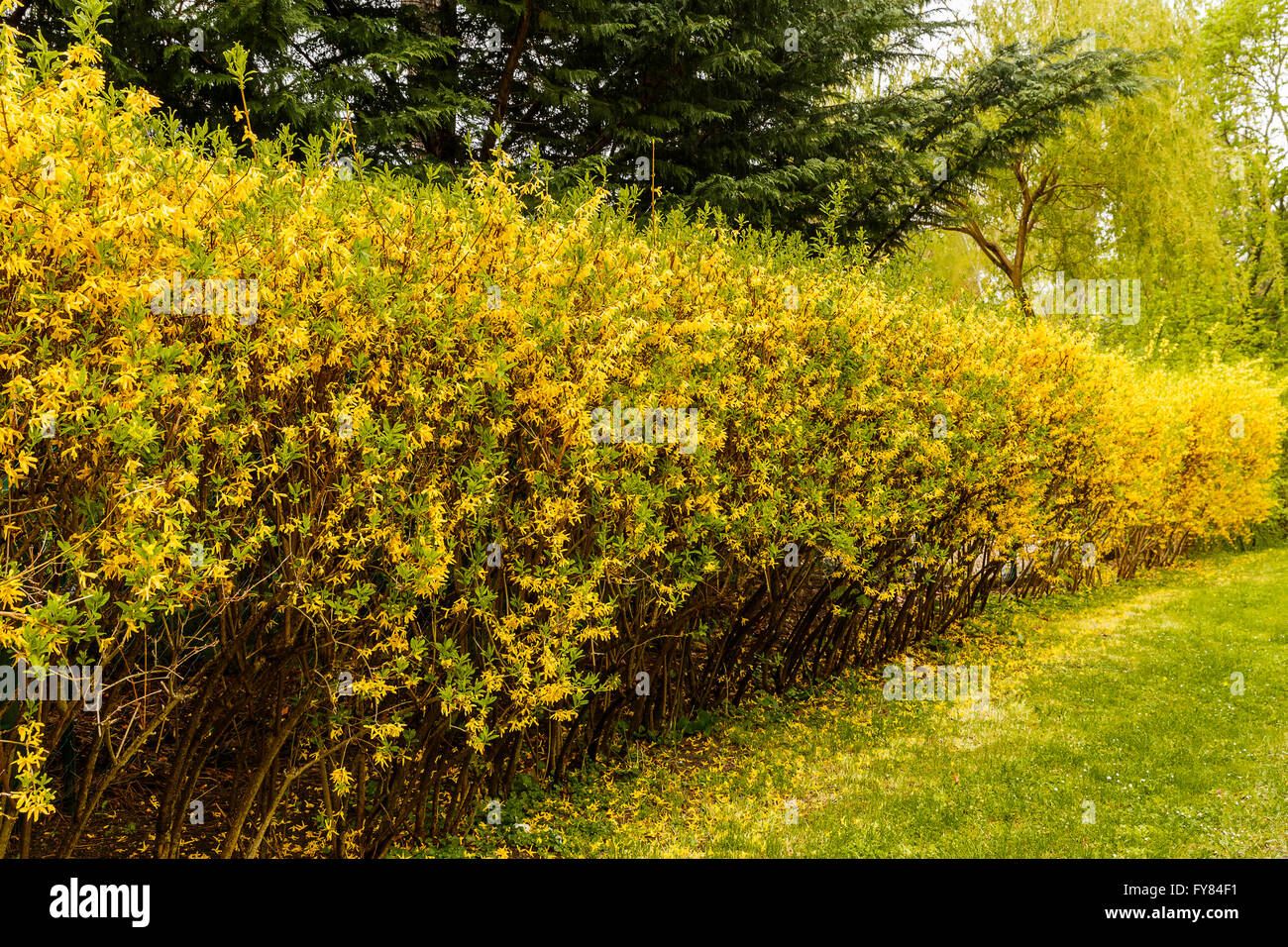 Hedge separating rural house beside the road - Stock Image