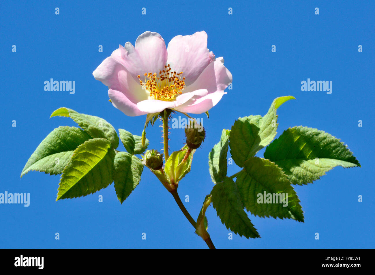 Closeup Dog rose (Rosa canina) flower on blue sky background Stock Photo