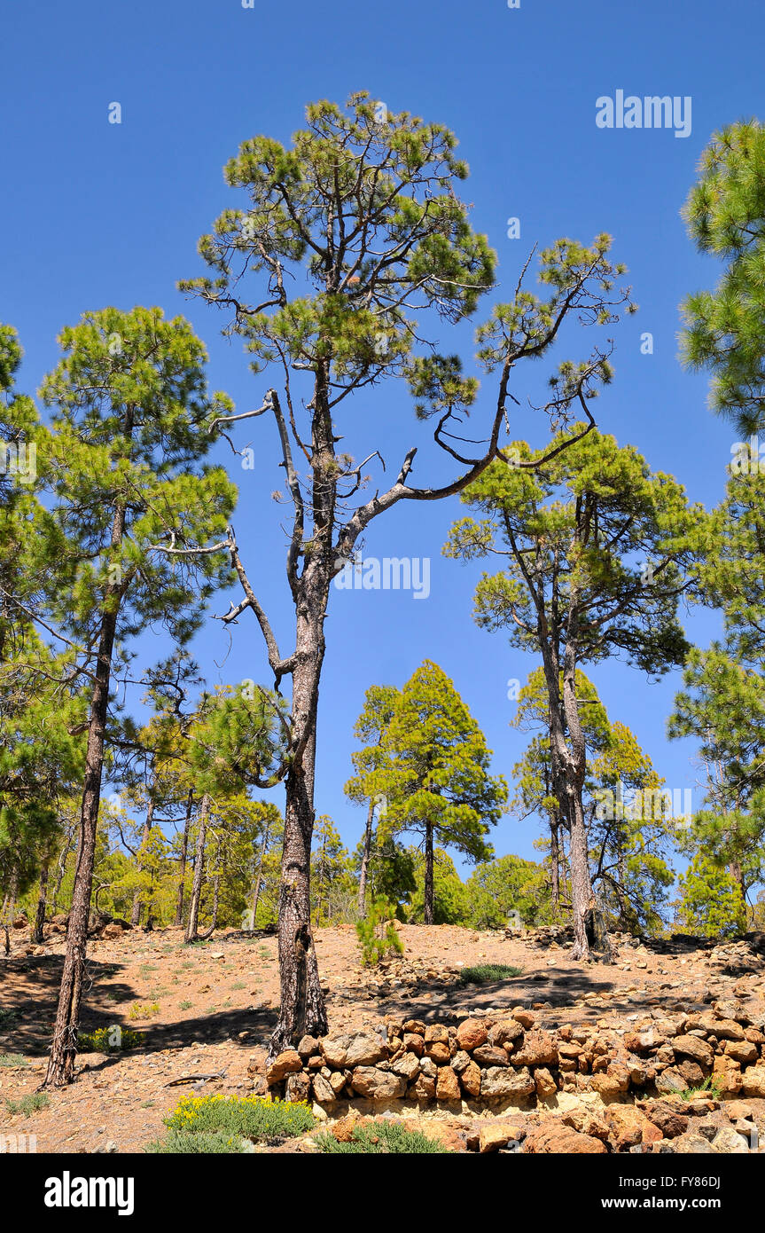 Pine forest (Pinus canariensis) at Tenerife in the Spanish Canary Islands - Stock Image