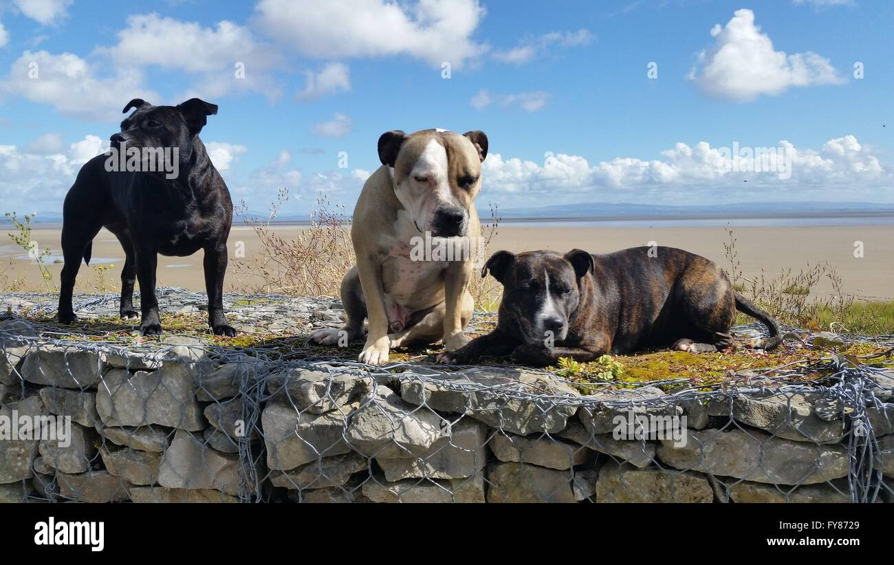 3 dogs on the beach. Staffordshire bull terriers - Stock Image
