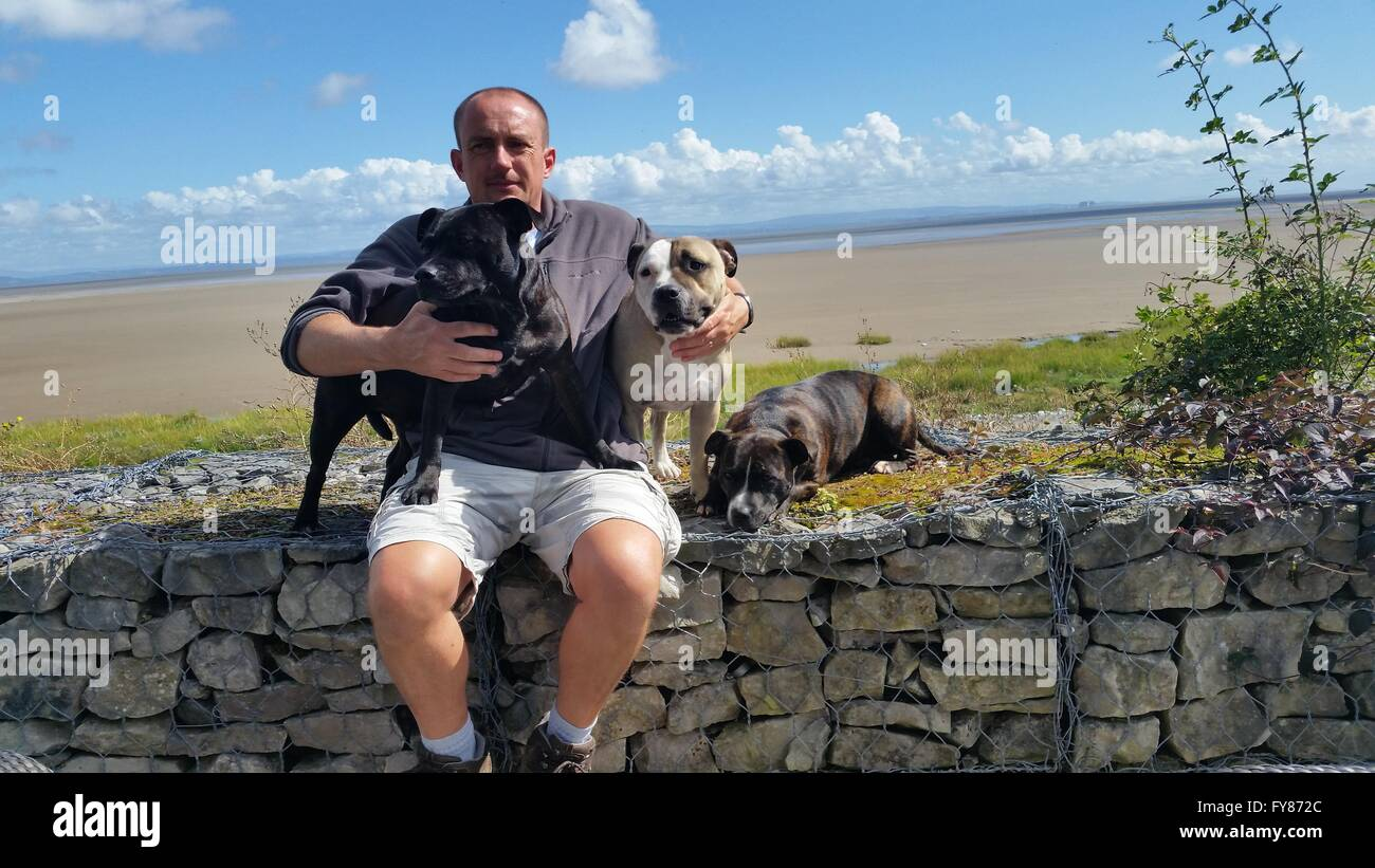 man with 3 dogs. Staffordshire bull terriers. - Stock Image