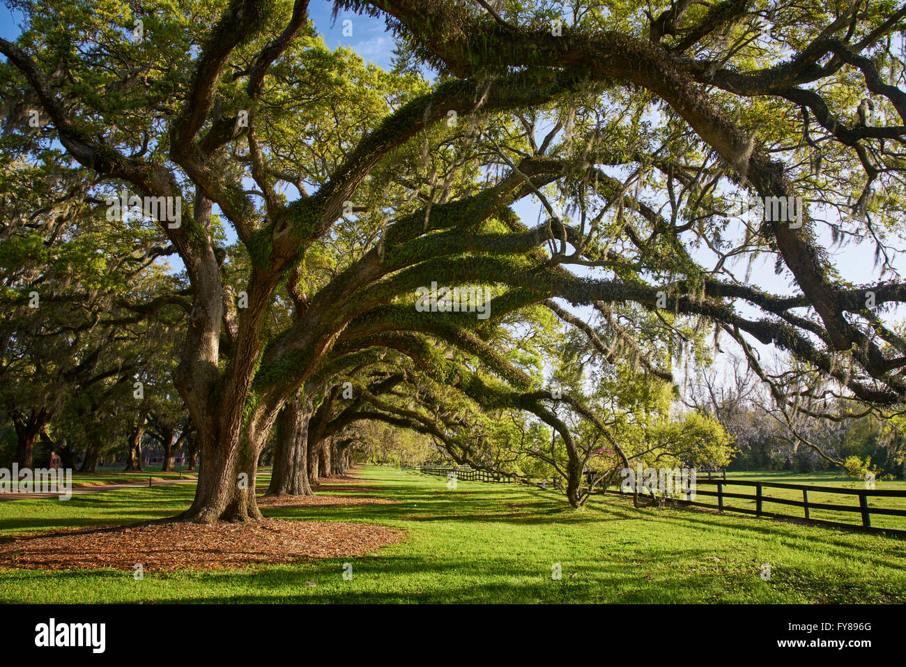 Iconic moss-covered oaks on Boon Hall Plantation in Charleston, South Carolina - Stock Image